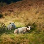 A photo of sheep in Rebild National Park, Denmark — Stock Photo