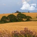 A landscape photo of rape wheat field — Stock Photo #19783169