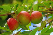A photo of Red apples on apple tree branch — Stock Photo