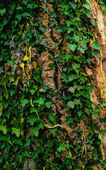 A photo of Green Ivy leaves on the tree bark — Stock Photo