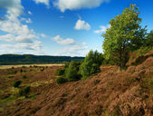 A photo hills covered with heather - Rebild National Park, Denmark — Stock Photo