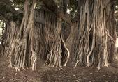 A photo of a tropical tree in Waikiki, Honolulu, Hawaii — Stock Photo