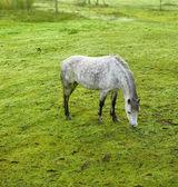 Beyaz bir at bir fotoğraf — Stok fotoğraf
