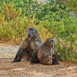 A photo of wild Baboon family socializing — Stock Photo