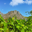 A photo of wine fields - Shot near Stellenbosch, Western Cape, South Africa. — Stock Photo #19813545