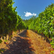 A photo of wine fields - Shot near Stellenbosch, Western Cape, South Africa. — Stock Photo #19813607