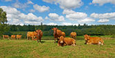 A photo of cows — Stock Photo