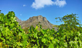 Photo de champs de vin - abattus près de stellenbosch, western cape, afrique du sud. — Photo