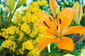 A photo of a yellow lily in natural setting — Stock Photo