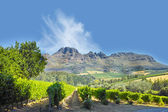 A photo of wine fields - Shot near Stellenbosch, Western Cape, South Africa. — Foto Stock