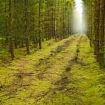 une photo d'une forêt de pins un matin tôt à l'automne — Photo #19820093