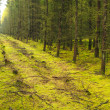 A photo of a pine forest an early morning in autumn — Stock Photo
