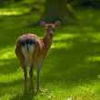 Stock Photo: Photo of deer in natural setting