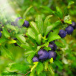 A photo of blue berries an early misty morning - Stock Photo