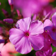 An image of Beautiful violet flowers — Stock Photo