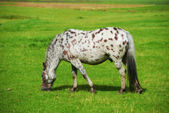 A photo of a Black and white horse — Stock Photo