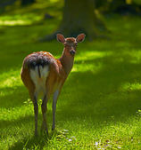A photo of a deer in natural setting — Stock Photo
