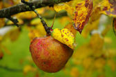 A detailed photo of old apples in the fall - natural setting — Stock Photo
