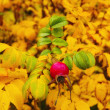 A photo of rose hip in autumn — Photo