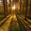 Stock Photo: A photo of pine forest at sunset