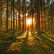 A photo of pine forest at sunset — Stock Photo