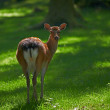 Stock Photo: Telephoto of female deer