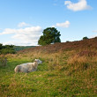 A photo of sleepy sheep in autumn landscape - 