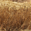 A photo of wheat in natural setting - 