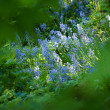An image of blue garden flowers — Stock Photo
