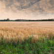 A photo of a wheat field - Photo