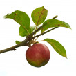 A photo of Red apples on apple tree branch - Photo