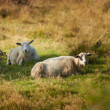 A photo of sheep in Rebild National Park, Denmark - Photo