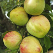 A photo of apples in natural setting - Photo