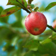 Stock Photo: Photo of apples in natural setting