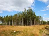 çam ormanı bir fotoğraf — Stok fotoğraf