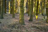 Zdjęcia wschód słońca w lesie sosnowym — Zdjęcie stockowe