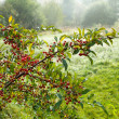 A photo of red berries an early misty morning - Stock Photo