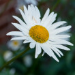 A photo of daisies — Stock Photo