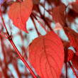 A photo red leaves — Stock Photo
