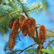 A photo of Pine Cone And Branches — Stock Photo #19864719