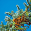 A photo of Pine Cone And Branches — Stock Photo
