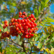 A photo of Rowan berries in natural setting — Стоковое фото