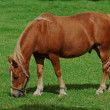 A photo of a horse on a green field — Stock Photo