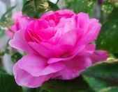 Una foto di rose rosa giardino — Foto Stock