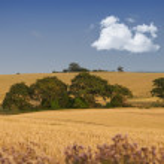 A landscape photo of rape wheat field — Stock Photo #19870155