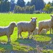 A photo of sheep - New Zealand — Stock Photo #19870661