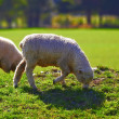 A photo of sheep - New Zealand — Stock Photo #19870711