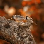 Sparrows in autumn — Stock Photo #6544872