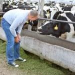 Farmer feeding a cow — Stock Photo