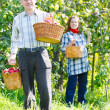 Happy couple in the garden harvests — Stock Photo